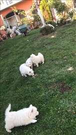 Samojed, štene medvedovskog tipa