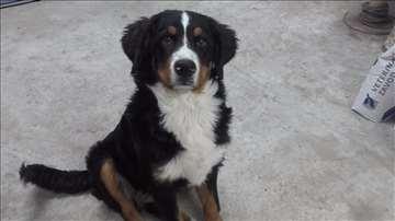 Bernski pastirski pas, mlad pas