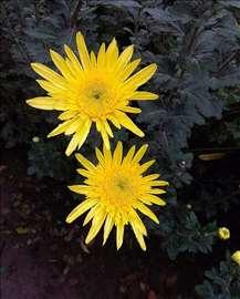 Cveće gerber