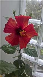 Hibiskus crveni Tutski