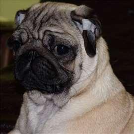 Mops , štene exluzivna multi sampiona