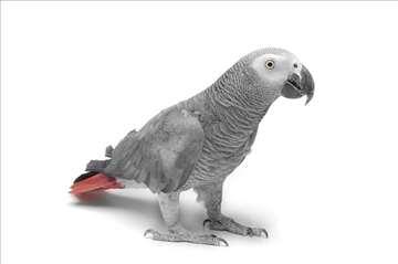 Nestao papagaj žako/afrički sivi kod Velike Remete