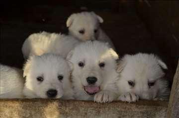 Beli švajcarski ovčar, štene