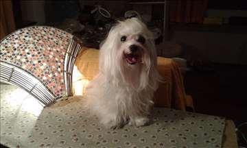 Maltezer, mlad pas za parenje