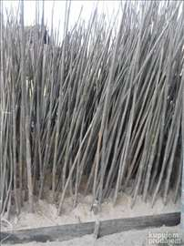 Jednogodišnje sadnice paulovnije