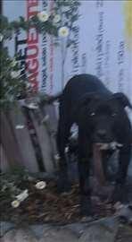 Pravi Pit Bull terrier
