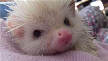 Prodajem Afričkog patuljastog ježa