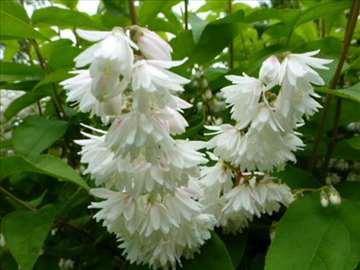 Deutzia scabra, sadnica 1m visine