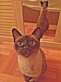 Sijamska, odrasla mačka