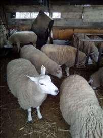 Teksel ovce i jaganjci