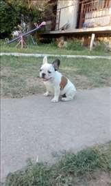 Francuski buldog, štene
