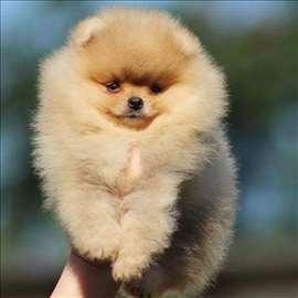 Pomeranski špic, štene