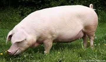 Prodajem debele svinje