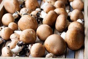 Seme, micelijum portobello, braon šampinjona