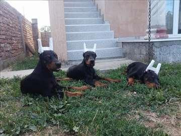 Doberman štenci na prodaju (4 meseca)