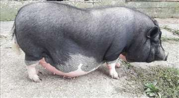 Vijetnamka 90 kg