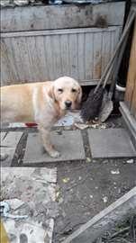 Pronađen labrador
