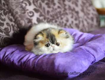 Persijski i exota mačići