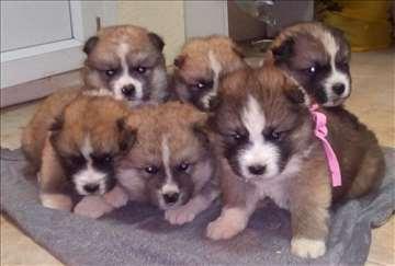 Akita inu - štenci