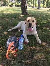 Labrador Badi traži ženkicu za parenje