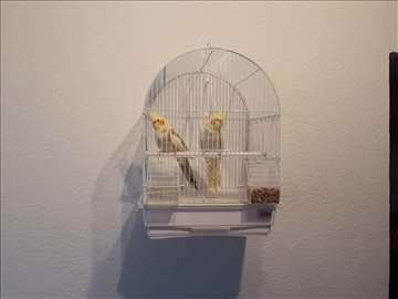 Prodajem par papagaja