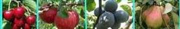 Prodaja voćnih sadnica