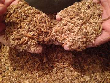 Tenebrija (brašnari) 1 komad