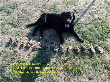 Labrador retriver, šampion spreman za parenje