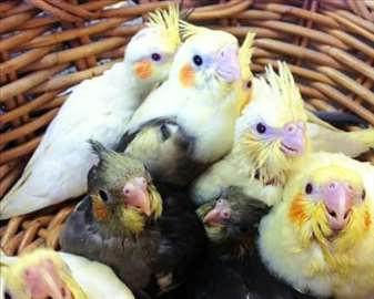 Ručno hranjeni papagaji