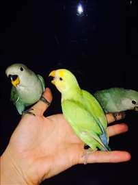 Rozenkolisi rucno hranjeni