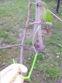 Povodci za papagaje (Kace se za alku na nozi)