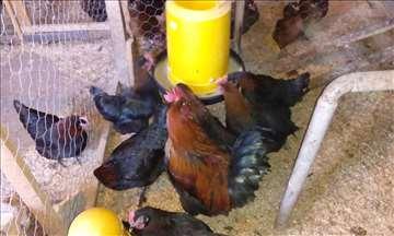 Marans i Araukana  jaja za nasad