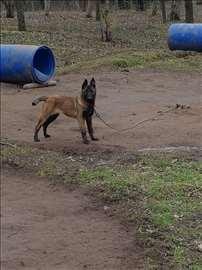 Belgijski ovčar, štene