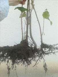 Dvogodišnje sadnice lešnika (sorte Halski džin)