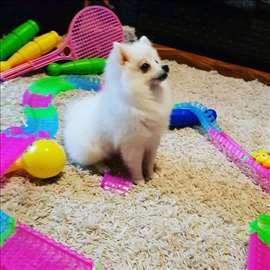 Pomeranski špic , štene