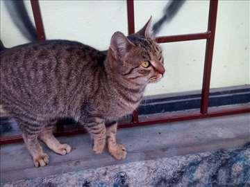Poklanja se sterilisana,mlada,umiljata maca