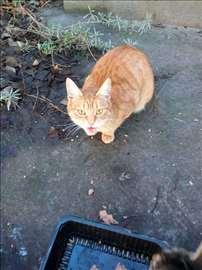 Poklanja se lepa,umiljata,sterilisana žuta maca