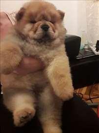 Čau-čau, štene