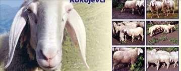 Priplodna grla Bergamo ovaca na prodaju