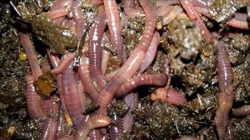 Najkvalitetnije djubrivo uz kalifornijske gliste