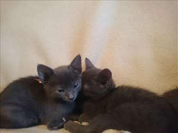Mačići ruske plave mačke