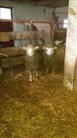 Umaticene ovce