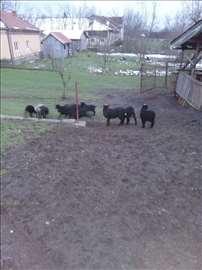 Romanovska jagnjad