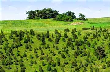 Kleka sadnice sa Sokolske planine