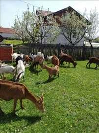 Domaće koze