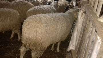 Na prodaju dva ovna, stado ovaca i jagnjad