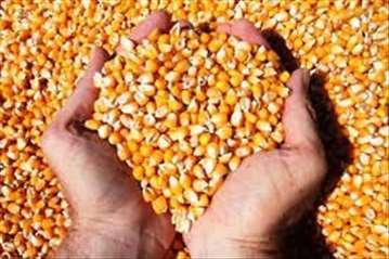 Prodajem kukuruz i pšenicu
