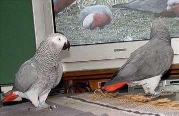 Prodajem papigu žako