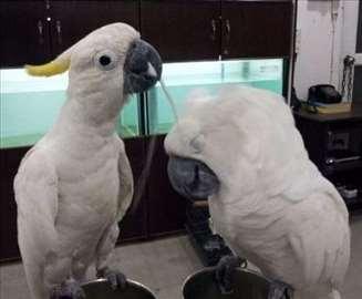 Prodajem ručno hranjene papige sumpora-šiljat kaka