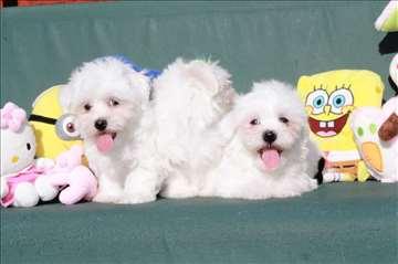 Maltezer, veliki izbor prelepih štenaca